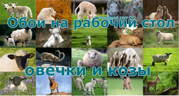 Обои на рабочий стол овечки и козы 2015 год
